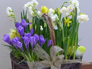 Fotos Krokusse Narzissen Hühner Schleife Blumen