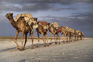 Bilder Wüste Altweltkamele