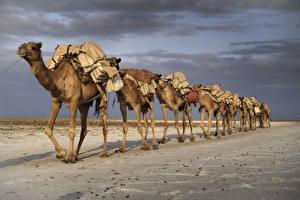 Bilder Wüste Kamele