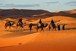 Fotos Wüste Kamele Mann Hügel Sand ein Tier