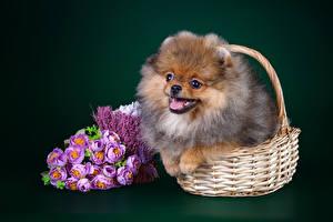 Bilder Hund Sträuße Farbigen hintergrund Weidenkorb Spitz Tiere