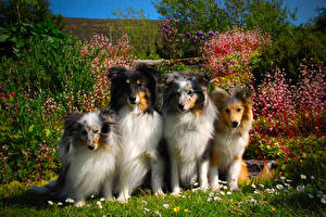 Image Dogs Collie
