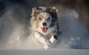Bilder Hunde Laufen Australian Shepherd Zunge Starren Schnee