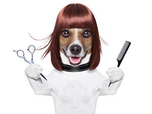 Image Dogs White background Jack Russell terrier Hair Snout Funny