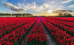 Hintergrundbilder Felder Tulpen Viel Belgien Rot Blumen