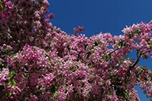 Bilder Blühende Bäume Ast Rosa Farbe Blumen