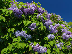 Pictures Lilac Branches Foliage Flowers