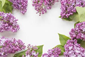 Bilder Syringa Weißer hintergrund Ast Blumen