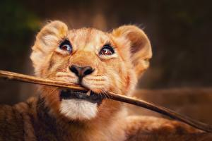 Fotos Löwen Babys Starren Ast Schnauze