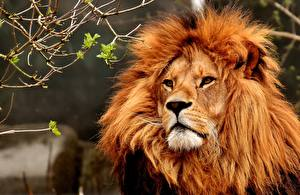 Bilder Löwe Blick Tiere