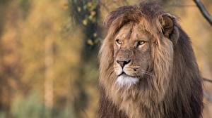 Fotos Löwen Blick