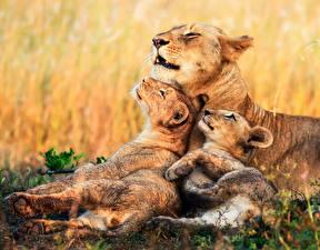 Bilder Löwe Löwin Jungtiere Drei 3 Süß Tiere