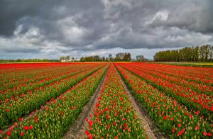 Fotos Niederlande Acker Tulpen Viel Rot Blumen