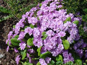 Pictures Primula Closeup Violet