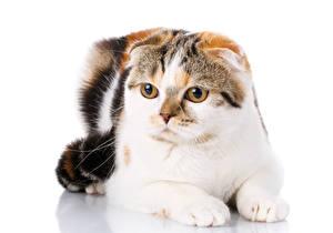 Fotos Schottische Faltohrkatze Katze Weißer hintergrund