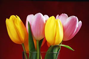 Bilder Tulpen Großansicht Farbigen hintergrund Blumen