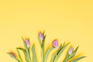Fotos Tulpen Farbigen hintergrund Rosa Farbe Blüte