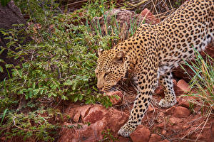 Picture Big cats Leopards
