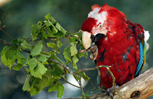Fotos Vögel Papageien Ast Schnabel Tiere