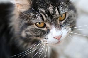 Hintergrundbilder Katze Starren Schnauze Schnurrhaare Vibrisse