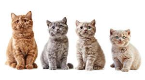 Bilder Katze Weißer hintergrund Blick Katzenjunges ein Tier