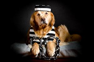 Fotos Hunde Golden Retriever Retriever Kette Lustige Handschellen