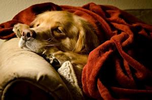 Hintergrundbilder Hunde Golden Retriever Schläft Schnauze