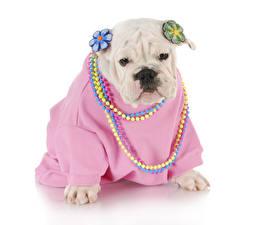 Hintergrundbilder Hunde Schmuck Weißer hintergrund Bulldogge Uniform