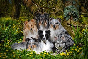 Photo Dogs Many Collie Glance animal