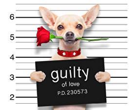 Hintergrundbilder Hunde Rosen Weißer hintergrund Englisches Chihuahua Rot Komische qiulty of love