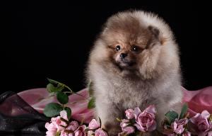 Fotos Hund Spitz Flaumig ein Tier