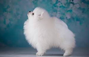 Hintergrundbilder Hund Spitz Weiß
