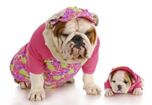 Hintergrundbilder Hunde Weißer hintergrund 2 Bulldogge Welpe Uniform
