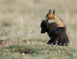 Wallpapers Foxes Cubs Two Black Animals