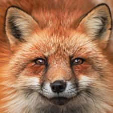 Hintergrundbilder Füchse Schnauze Starren Schnurrhaare Vibrisse Tiere