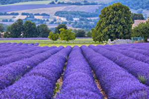 Bakgrundsbilder på skrivbordet Frankrike En åker Lavendlar Provence Natur