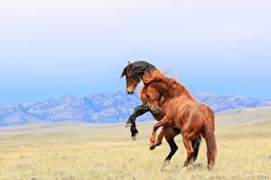 Bilder Pferde Zwei Tiere