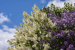Fotos Syringa Ast Blumen