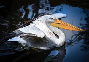 Bilder Pelikane Vogel Schnabel Tiere