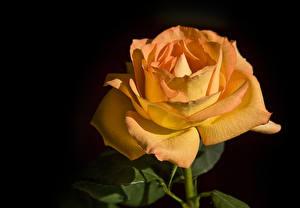 Photo Rose Closeup Black background Orange flower