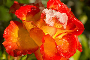 Picture Rose Closeup Drops Ice Flowers