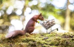 Bilder Eichhörnchen Schalenobst Weidenkorb Laubmoose