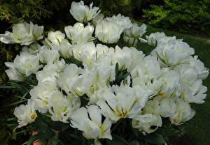 Hintergrundbilder Tulpen Großansicht Weiß Exotic Emperor Blumen
