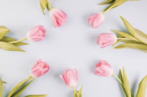 Hintergrundbilder Tulpen Großansicht Grauer Hintergrund Rosa Farbe Blumen