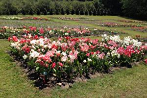 Fotos Australien Park Amaryllis Woombye Queensland Natur Blumen