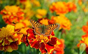 Pictures Butterflies Tagetes Animals