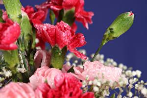 Hintergrundbilder Nelken Großansicht Knospe Blumen