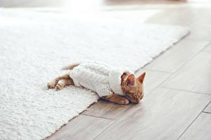 Bilder Katze Katzenjunges Sweatshirt Schlaf Tiere