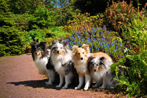 Picture Dogs Collie Shrubs