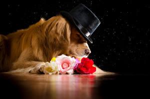 Bilder Hunde Golden Retriever Rosen Der Hut Tiere